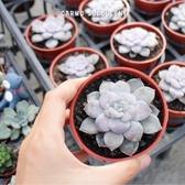 CARMO超武雄縞瓣多肉植物成株(3吋) 新手【Z0093】