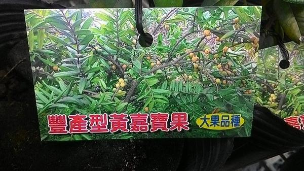 ** 豐產型黃嘉寶果 ** 4吋盆/高20-30cm OvO
