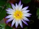 花花世界-樹苗花苗玫瑰苗水果苗 香水蓮花 不挑色 8吋盆 原價220