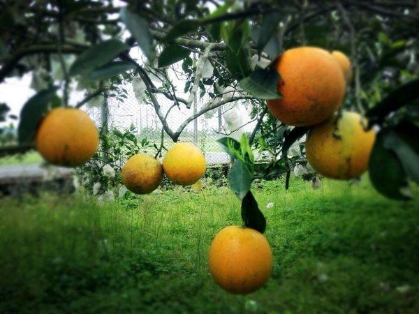 [花蓮]採果體驗-彌勒有機果園(香丁)