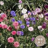 CARMO矮生混合矢車菊種子 園藝種子(30顆) 【FR0018】