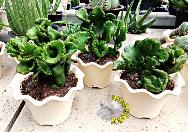 [珊瑚大戟綴化盆栽]  4-5吋仙人掌活體盆栽 特殊品種多肉盆栽 送禮小品盆栽