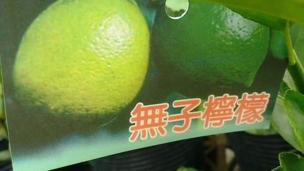 ** 無籽檸檬 無子檸檬 ** 8吋盆/高40-60cm OvO