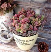 綠野園藝白瓷經典系列花盆 多肉植物簡約陶瓷花盆 挪威森林