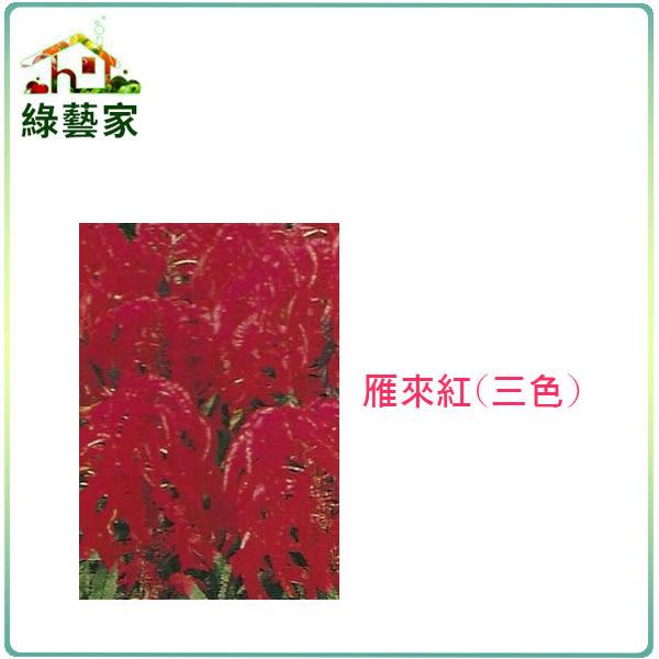 【綠藝家】H13.雁來紅(三色,高50cm)種子35顆