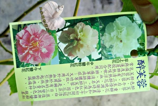 [醉芙蓉 山芙蓉盆栽 花會變色]  6-8吋活體盆栽 送禮小品盆栽