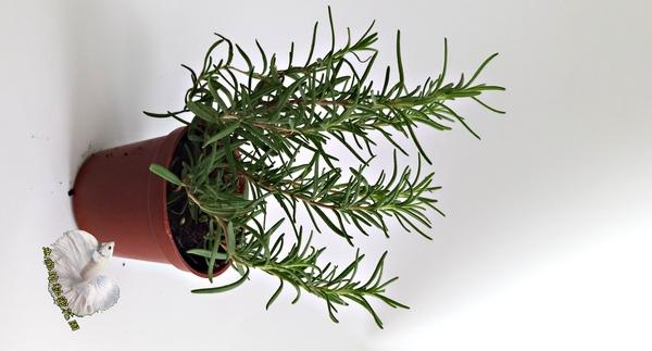 香草植物 迷迭香盆栽  3吋盆活體盆栽, 可食用可泡茶 烤雞牛排雞排