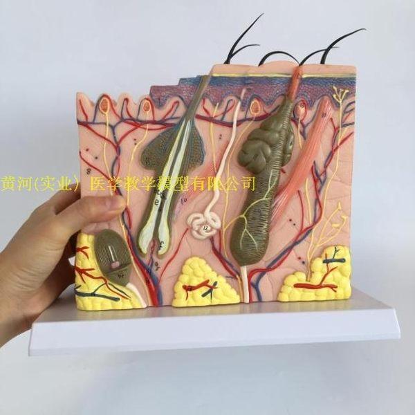 人體皮膚組織結構放大模型 皮膚切面解剖模型美容整形皮膚微整形