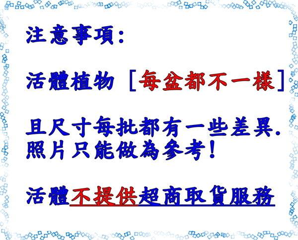 [珊瑚大戟 白色4吋塑膠盆組合盆栽] 活體多肉植物 仙人掌多肉盆栽 送禮首選 祝賀禮物