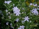 花花世界_圍籬植物--星星茉莉,滿天星茉...