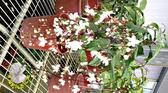 11月花苞來了! [垂茉莉花 白玉蝴蝶花] 5寸盆 室外花卉 半日照佳 多年生觀賞花卉盆栽