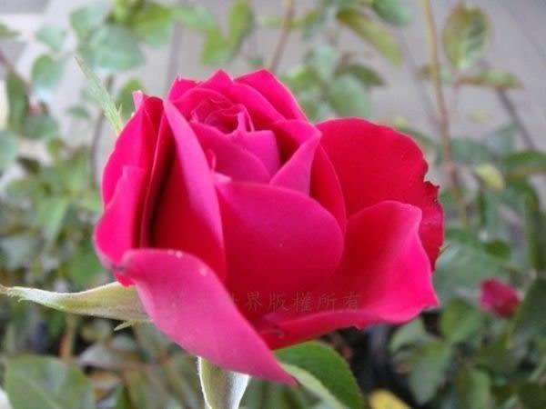 玫瑰花苗 ** 迪奧(Christian Dior) ** 4吋盆/ 高15-30公分/ 強健好種植【花花世界玫瑰園】R