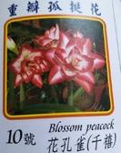 季節花卉--種子 球根 **重瓣孤挺花--花孔雀-千禧(10號) **紅白重辧【花花世界玫瑰園】S