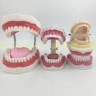 口腔保健護理牙齒模型 幼兒園教具 兒童刷牙玩具牙齒牙科演示構造