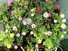 不挑色. 隨機出貨! 小玫瑰小薔薇盆栽  3吋盆活體盆栽