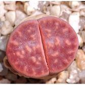 ⓒ紅花紋玉C330種子(10顆裝) 多肉植物生石花種子【A51】