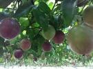 [嘉義]採果體驗-后羿農場(百香果、番茄...