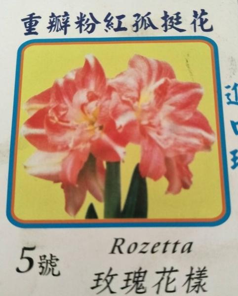 季節花卉--種子 球根 ** 重辦粉紅-孤挺花--玫瑰花樣(5號) ** 粉色優美【花花世界玫瑰園】S