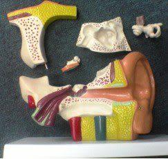 JP-241A中型耳模型(實用的人體模型/教學模型/解剖模型/護理模型/耳朵模型)