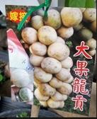 花花世界-水果果苗--大果龍貢(高壓苗)--果肉似荔枝/4寸苗/Ts