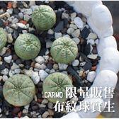 CARMO布紋球實生 成株仙人掌【Z0051】