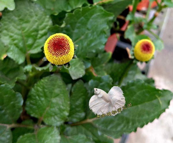 活體 [ 六神草 ] 室外香草植物 藥用植物 5-6吋盆栽 送禮盆栽