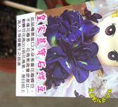 [皇家藍寶石蝶豆花苗] 5吋活體盆栽, 可食用可泡茶 變色飲料, 天然花青素 新品種蝶豆花