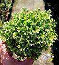 [綠地珊瑚蕨] 蕨類盆栽 室內植物3吋盆...