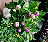 活體 [變色辣椒] 室外植物 3吋盆栽 送禮小品盆栽