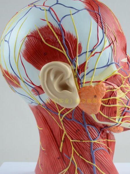 人體頭骨帶肌肉神經血管模型型 美容面部神經微整形 醫學解剖