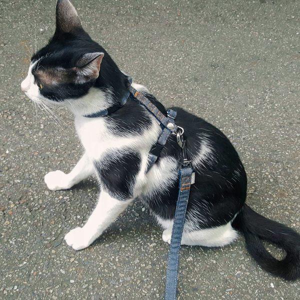 寵物FUN城市│PPARK《牛仔布系列》貓咪用 胸背帶【M號】 (胸帶,台灣製造,品質安心)