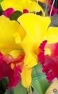 花花世界_節氣花卉--嘉德麗雅蘭花--金吉利--花姿優美/4.5吋盆苗/高15~30公分/TS