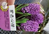 [紫色心情] 超香 深紫色風信子  2.5寸盆 室內濃香花卉 多年生球根類觀賞花卉盆栽
