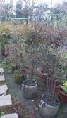 花花世界_圍籬樹苗--南天竹,常綠小灌木--冬季變紅色/6尺苗/高160-180公分/Tm