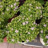 花花世界_季節花卉--紫芳草--(滿滿的花)/5吋盆/20-30公分高/TC