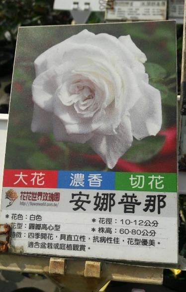 玫瑰花苗 ** 安娜普那 ** 3.5吋盆/ 高15-30公分/黃色杯型花【花花世界玫瑰園】m