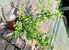 [指甲花盆栽] 室外植物 8吋盆活體花卉盆栽 送禮小品盆栽