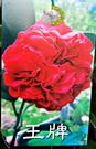 [王牌茶花苗] 3-3.5吋 觀賞茶花盆栽 活體花卉盆栽 半日照 需換盆才會比較快開花