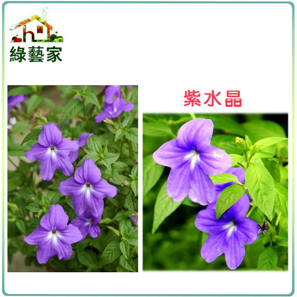 【綠藝家】大包裝H18.紫水晶(藍色,高25~40cm)種子300顆