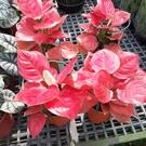 花花世界_季節花卉--紅寶石粗肋草--(粉紅葉植物)/6寸盆/20-30CM/TC