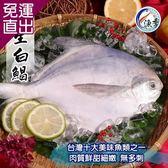 漁季 野生大白鯧 3尾(350g±10%/尾)【免運直出】