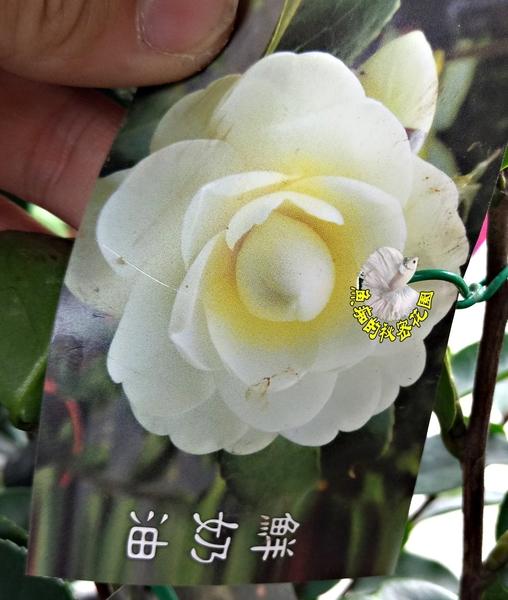 [鮮奶油茶花苗] 3-3.5吋黑軟盆 觀賞茶花盆栽 活體花卉盆栽 半日照 需換盆才會比較快開花