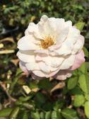 玫瑰花苗 ** 日冕 ** 3.5吋盆/ 高15-30公分/高貴優雅 【花花世界玫瑰園】R
