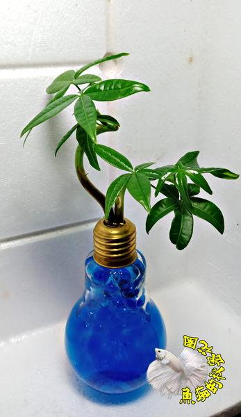 藍色水晶泥 [玻璃燈泡瓶+水耕彎曲發財樹 馬拉巴栗 美國花生 發財樹盆栽] 辦公室植物
