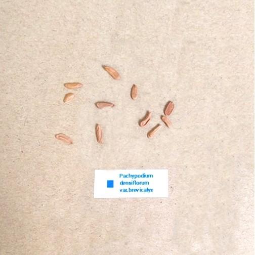 ⓒ稀有棒槌屬塊根種子 (3顆裝) *學名在內* 進口多肉植物種子 龍舌蘭科【B66】
