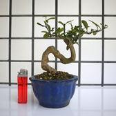 明陽盆栽園*【金豆柑】樹高12*左右15*幹徑2.5cm 小品盆景 易開花結果 好照顧