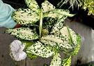 活體 [ 星點木 ] 室內植物 3吋盆栽...