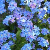 CARMO藍色勿忘我種子 園藝種子(單份) 【FR0064】