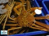【禧福水產】日本活體松葉蟹/鳥取蟹◇$特價2080元/900g±10%◇最低價 口感扎實/頂級食材 團購可批發