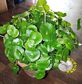 [大銅錢草 錢幣蓮 金錢草] 5-6吋盆 活體盆栽 送禮盆栽 室外半日照佳